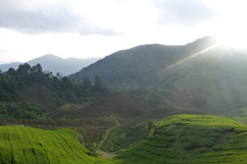 Tea Plantation During Sunrise